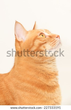 Ginger cat looking up on white background  - stock photo