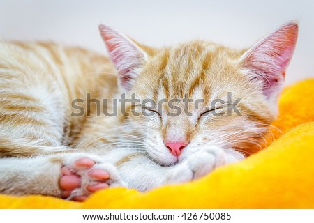 Ginger cat of color redhead sleeping in the living room on the couch - stock photo