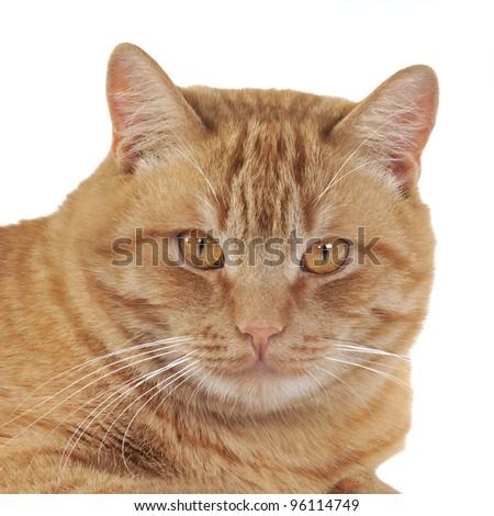 Ginger cat portrait, studio isolated shot - stock photo