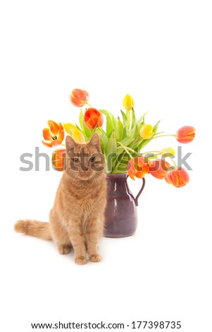 Ginger cat sitting in front of a vase of tulips, isolated on white - stock photo