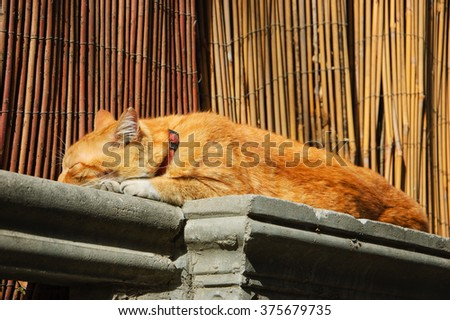 Ginger cat sleeping on the garden wall and bamboo fence at background. Tel Aviv (Israel).