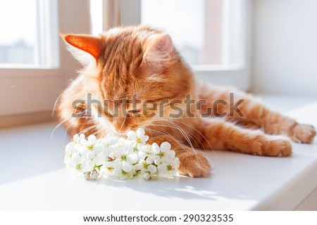 Ginger cat smells a bouquet of cherry flowers. Cozy spring morning at home. Cute background with place for text. Soft focus. - stock photo