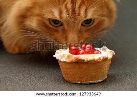 ginger cat sniffing a cake with red currant - stock photo