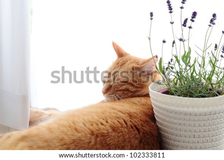 Ginger cat with lavender flowers - stock photo