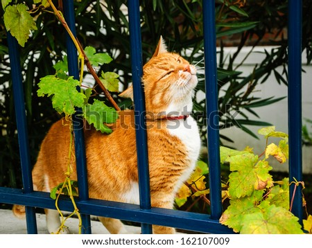 Ginger cat with narrowed eyes rubbing against blue iron fence. - stock photo