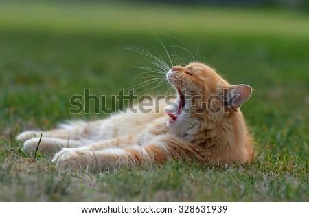Ginger cat yawns - stock photo