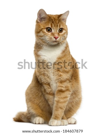 Ginger European Shorthair sitting and looking away - stock photo