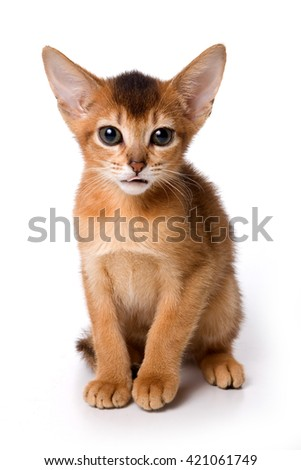 Ginger kitten Abyssinian (isolated on white)