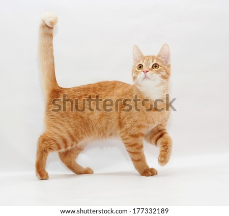Ginger kitten, coyly lift the front foot - stock photo