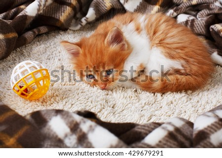 Ginger kitten with white chest. Long haired red orange kitten lay down tired at plaid blanket. Sweet adorable kitten on a serenity blue wood background. Small cat with toy ball. Funny kitten - stock photo