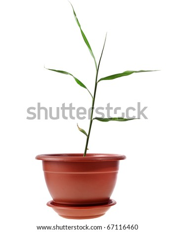 ginger leaves  sprout on white
