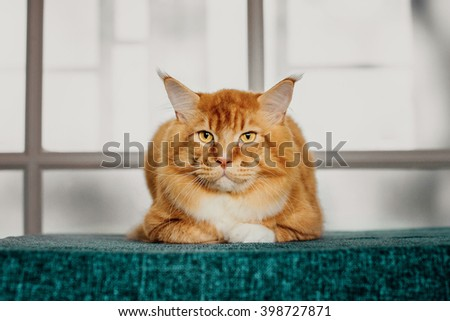 Ginger maine coon. Cat laying on floor. Orange maine coon cat. Maine coon portrait. Maine coon cat closeup view. Red maine coon photo. - stock photo