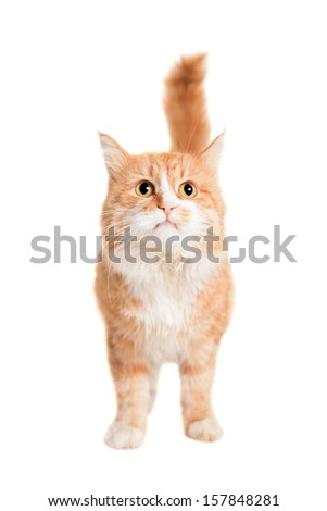 Ginger mixed breed cat, isolated on white