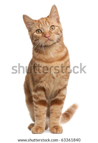 Ginger mixed breed cat, 6 months old, sitting in front of white background - stock photo