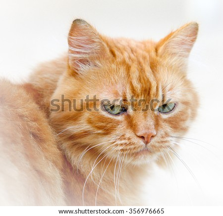 Ginger sad homeless cat portrait close up  - stock photo