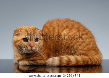 Ginger Scottish Fold Cat Lies on Gray Background  - stock photo