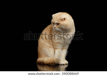 Ginger Scottish Fold Cat Sits and Looking at left isolated on Black Background  - stock photo