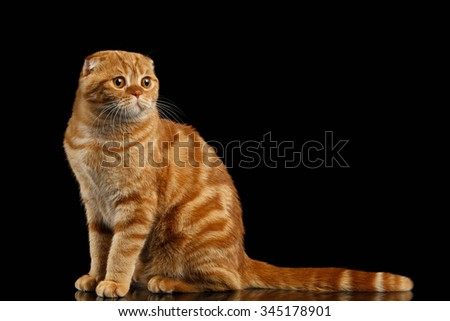 Ginger Scottish Fold Cat Sits and Looking at right isolated on Black Background  - stock photo