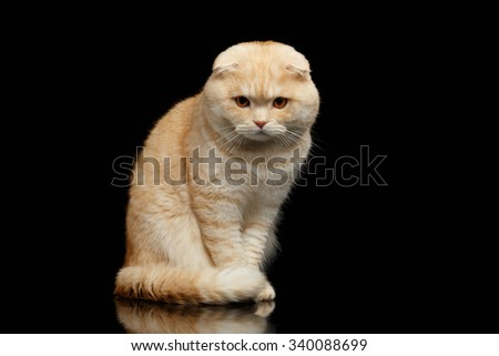 Ginger Scottish Fold Cat Sits and Looking in camera isolated on Black Background  - stock photo