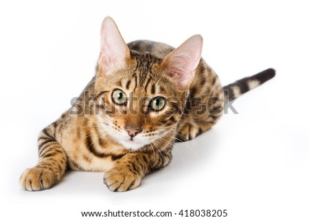 ginger tabby cat Bengal (isolated on white) - stock photo