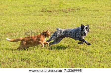 Ginger tabby cat chasing a young dog in high speed, with green grass background
