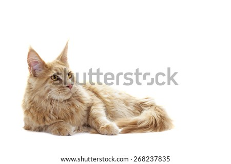 ginger tabby cat looking
