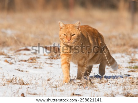 Ginger tabby cat walking in snow in a sunny winter day