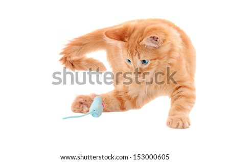 Ginger tabby kitten playing with a blue toy mouse on a white background - stock photo