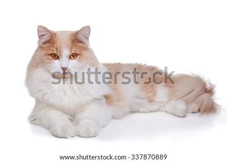 Ginger White Cat isolated over white background. - stock photo