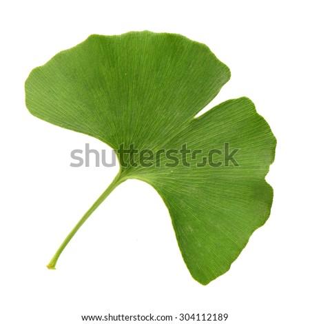 Ginkgo biloba fresh leaves on white background - stock photo
