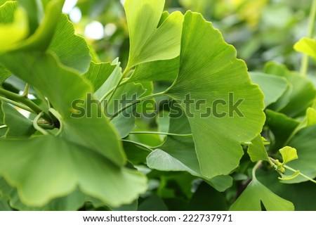 Ginkgo biloba green leaves on a tree. - stock photo