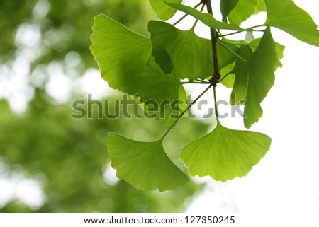 Ginkgo Biloba leaf - stock photo