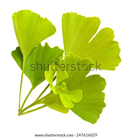 ginkgo biloba leaves isolated on white background - stock photo