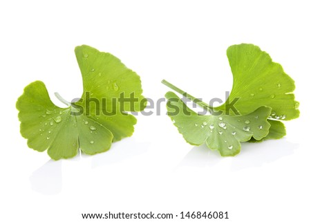 Ginkgo biloba leaves with dew isolated on white background with reflection. Natural nutritional memory supplement. - stock photo