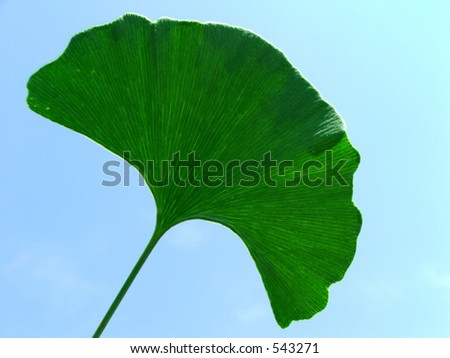 Ginkgo leaf against the blue sky. - stock photo