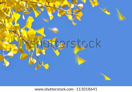 Ginkgo leaves blowing in the autumn breeze - stock photo