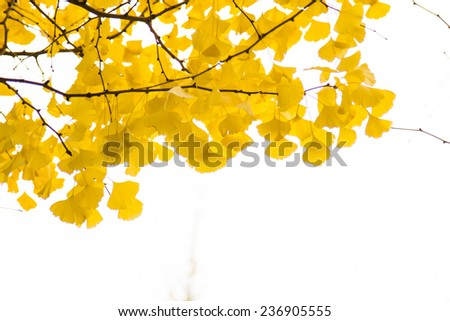 Ginkgo Leaves In Spectacular Autumn Color