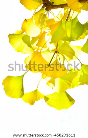 Ginkgo of autumn leaves