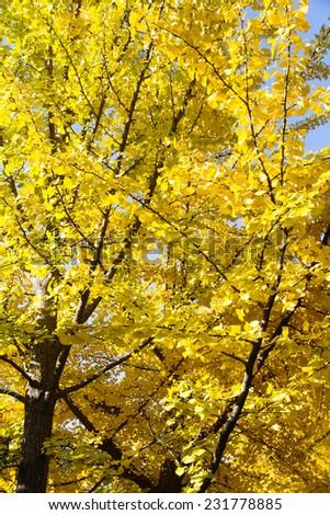 Ginkgo Tree  - stock photo
