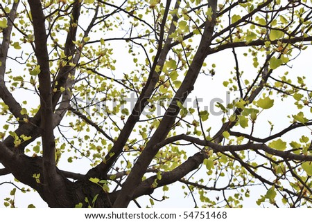 Ginkgo Tree in South Korea - stock photo