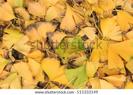 ginkgo tree leaves in autumn