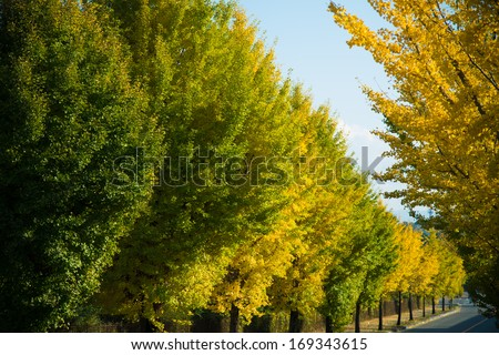 ginkgo yellow leaves in autumn - stock photo