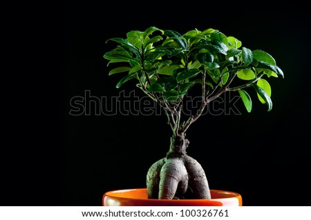 Ginseng ficus tree, black background - stock photo