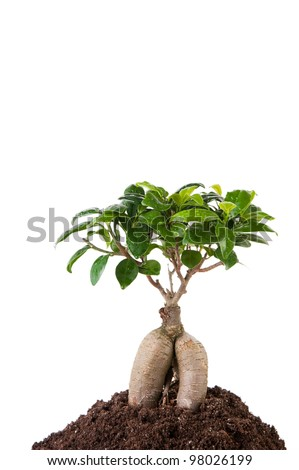 Ginseng ficus tree, white background - stock photo