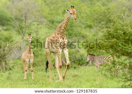 Girafe - Parc national Kruger, Afrique du Sud. - stock photo