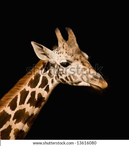 Giraffa camelopardalis - stock photo