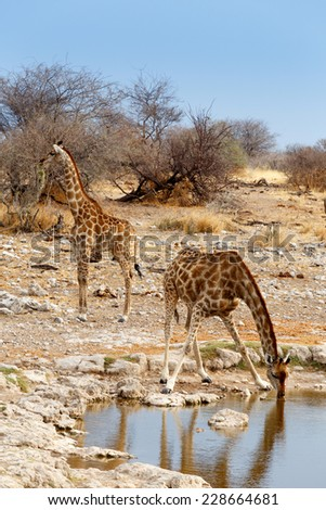 Giraffa camelopardalis drinking from waterhole in Etosha national Park, Ombika, Kunene, Namibia