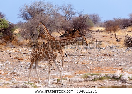 Giraffa camelopardalis near waterhole in Etosha national Park, Ombika, Kunene, Namibia, true wildlife - stock photo