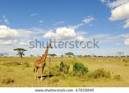 Giraffa in Serengeti National Park - stock photo