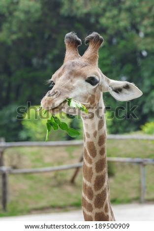 Giraffe - stock photo